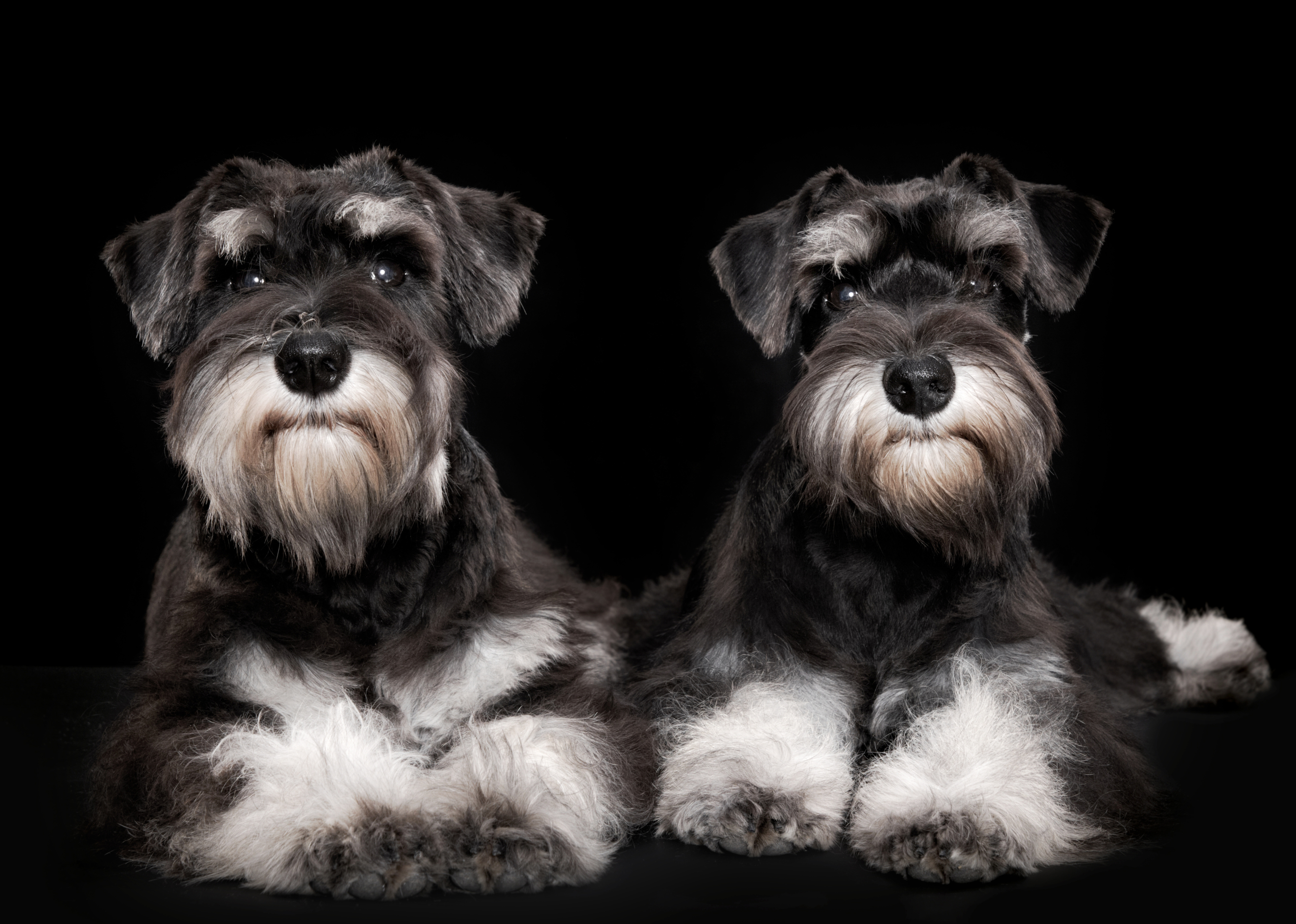 Miniature schnauzer puppies for sale pittsburgh pa