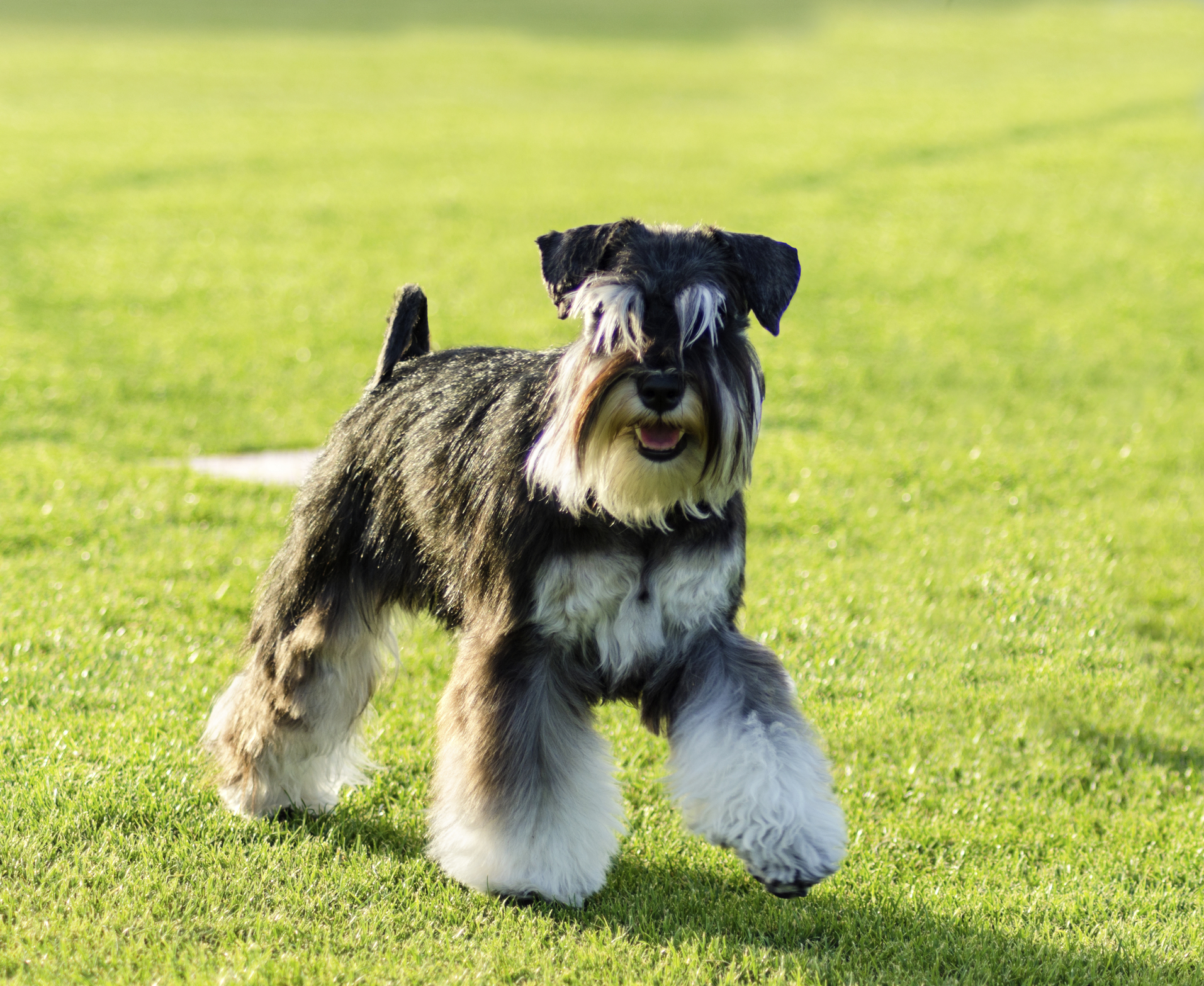 miniature schnauzer   whistle hill puppies