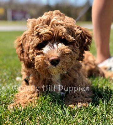 Testimonials | Whistle Hill Puppies
